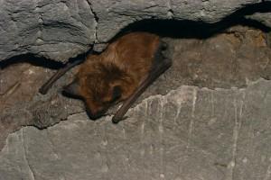 Big Brown Bat Barkshed Saltpeter Cave 2