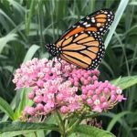 Arkansas Electric Cooperative Corporation supports Monarch Butterfly Conservation